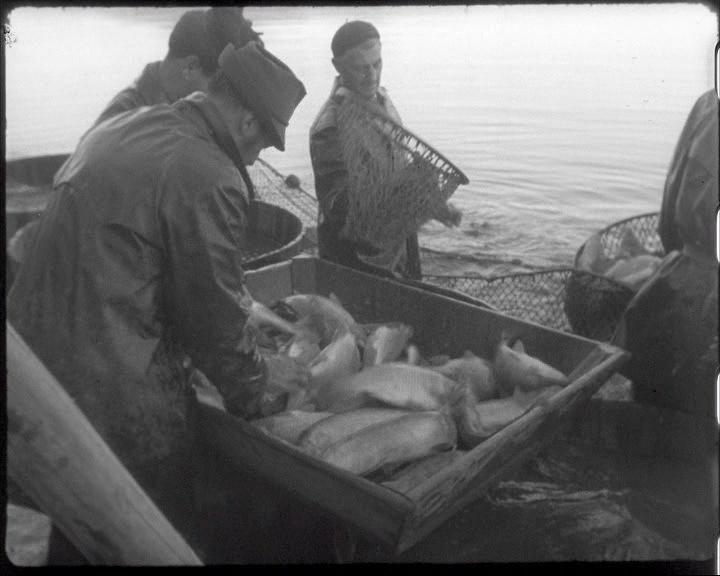 Výlov rybníku Olšina (Armádní filmový zpravodaj č. 22/1960)