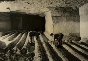Pěstování žampionů v útrobách pevnostního objektu na Maginotově linii