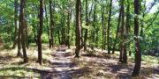 Stezka svobody vede od Točné ke Zbraslavi dolů, příjemným dubovým lesem. Foto Andrej Halada.